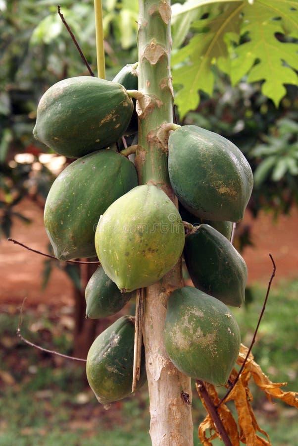 melonowy drzewo fotografia royalty free