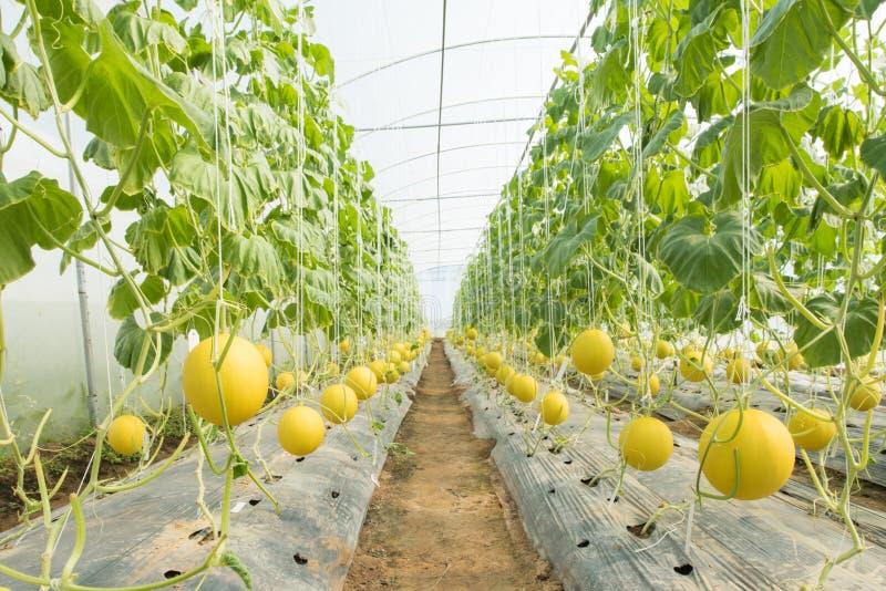 Melonowy uprawiać ziemię fotografia stock