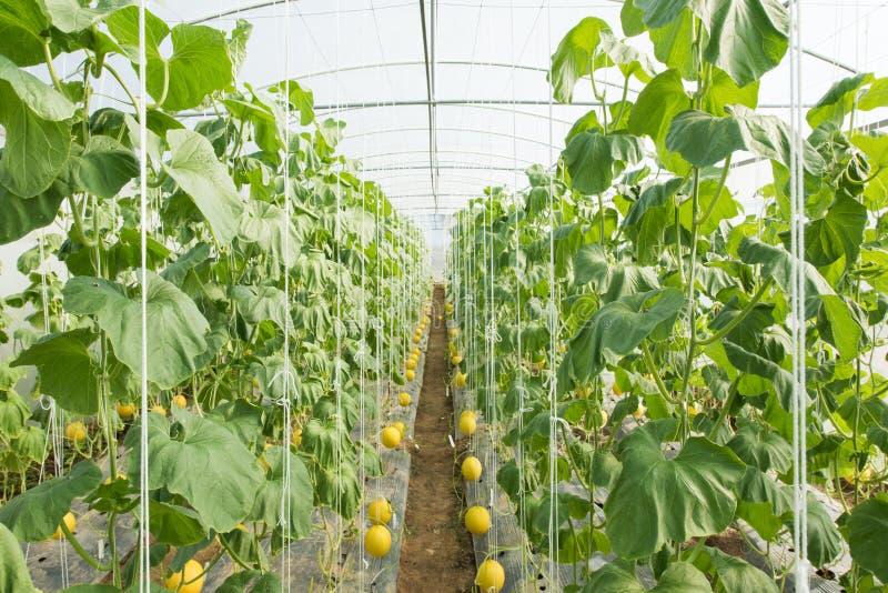 Melonowy uprawiać ziemię, Melonowa plantacja fotografia stock