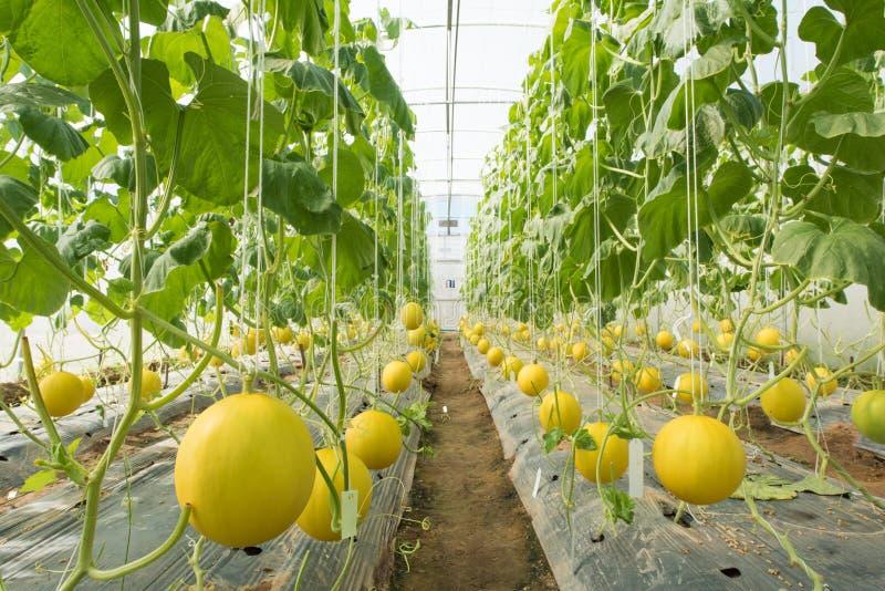 Melonowy uprawiać ziemię, Melonowa plantacja w wysokich tunelach szklarnianych zdjęcie stock