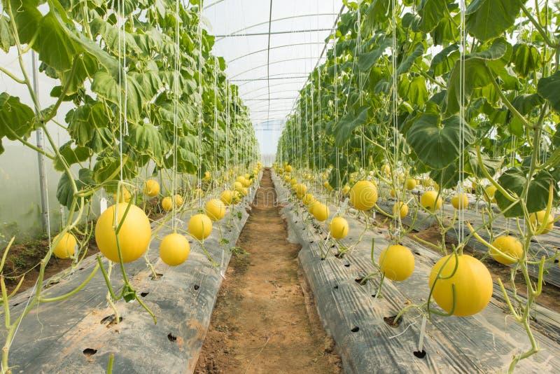 Melonowy uprawiać ziemię, Melonowa plantacja w wysokich tunelach szklarnianych zdjęcie royalty free