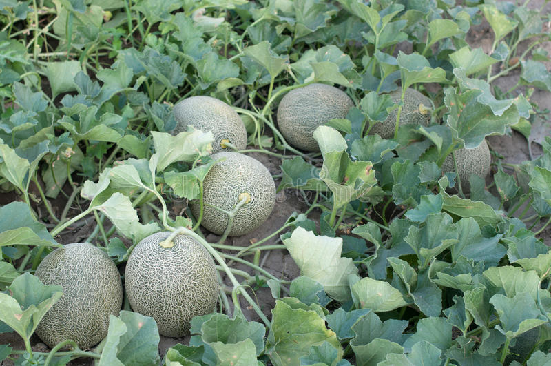 Download Melons stock photo. Image of horizontal, cultivated, food - 25974700
