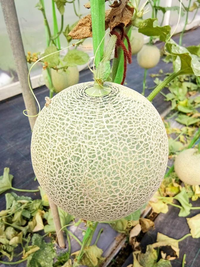 Melons frais ou melons ou plantes verts de melons de cantaloup s'élevant en serre chaude photos libres de droits