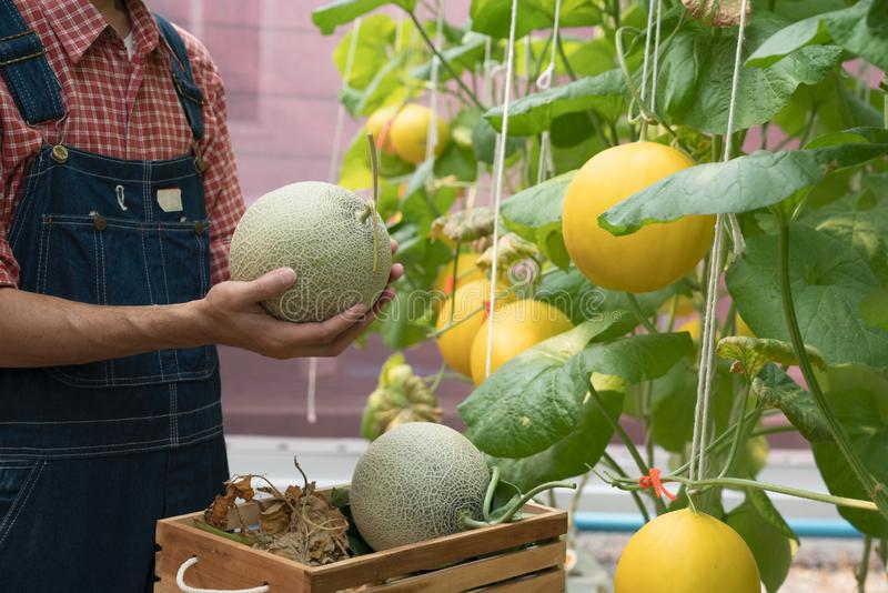 Melons in the garden, Yong man holding melon in greenhouse melon farm.  stock images