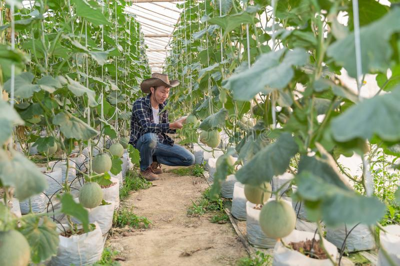 Melons in the garden, Yong man holding melon in greenhouse melon farm. Young sprout of Japanese melons growing. In greenhouse stock images