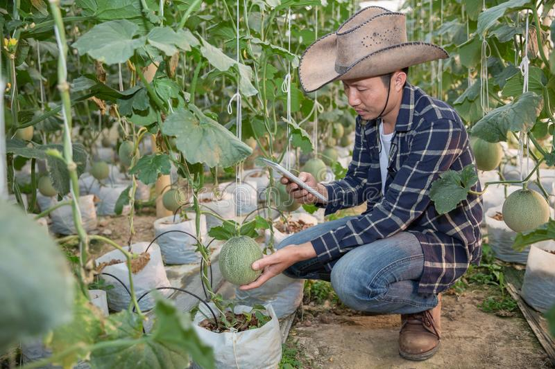 Melons in the garden, Yong man holding melon in greenhouse melon farm. Young sprout of Japanese melons growing in greenhouse royalty free stock photography