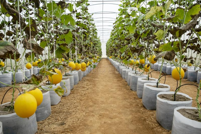 Melons in the greenhouse farm. Young sprout of melons growing in greenhouse, yellow, melons or cantaloupe melons plants growing in. Garden, Eco organic modern royalty free stock photo