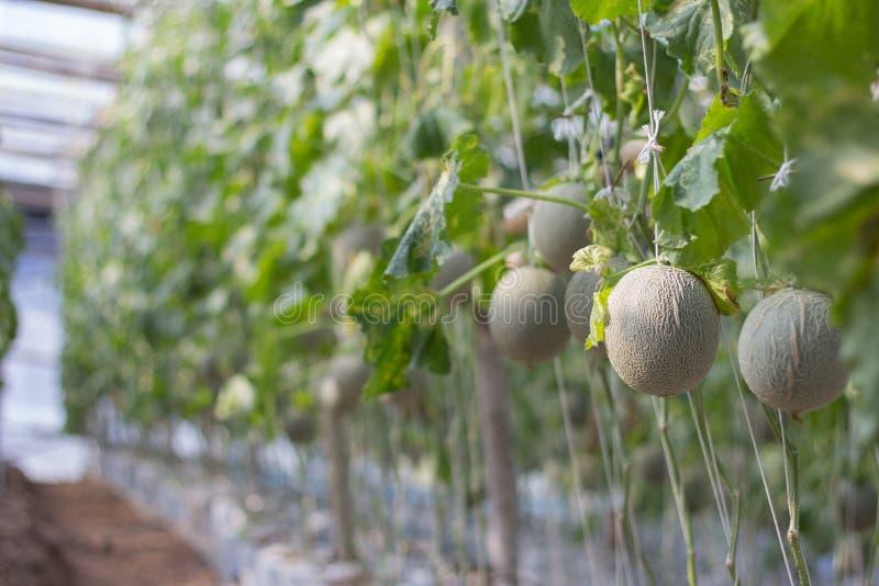 Melonu gospodarstwo rolne obraz royalty free
