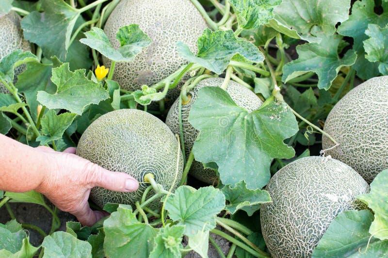 Meloons i en trädgård arkivbilder