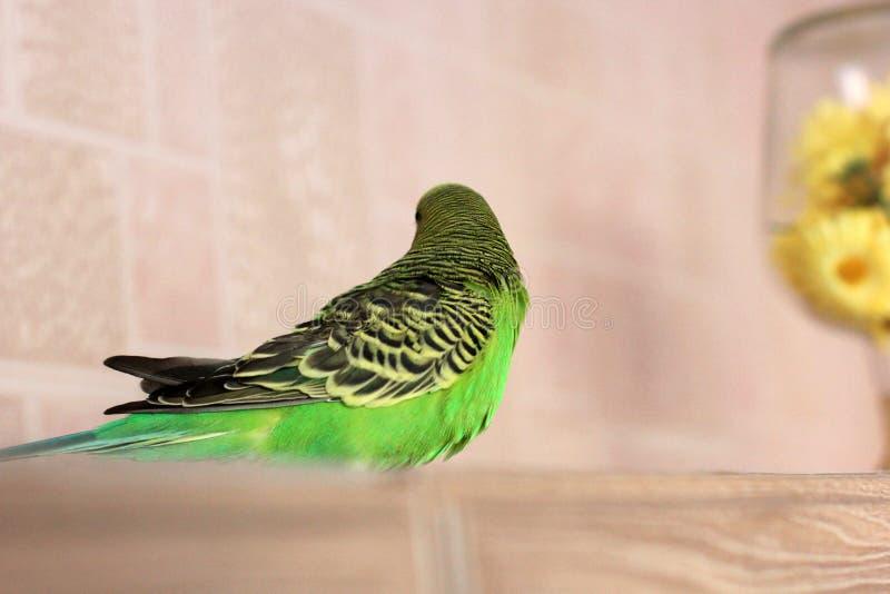 Melopsittacus undulatus 绿色波浪鹦鹉 鹦哥 库存照片