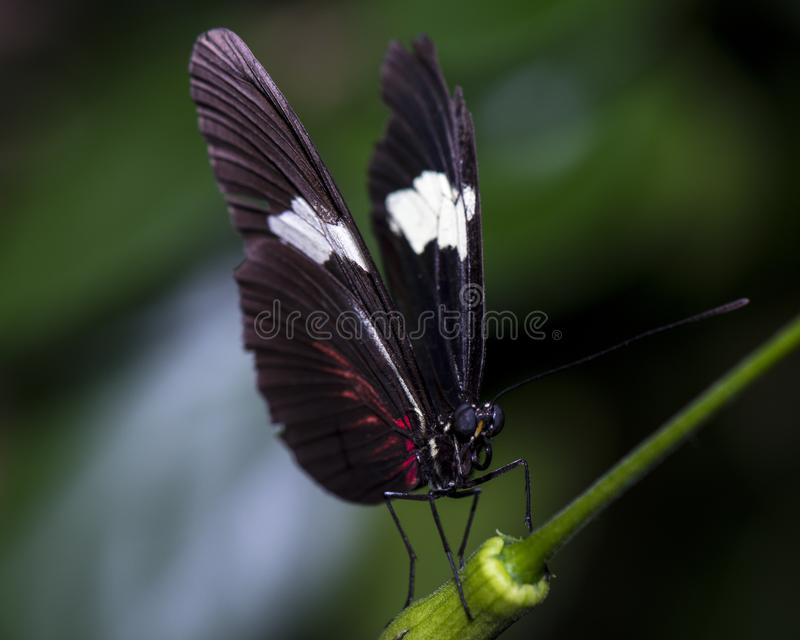 Melpomene de Heliconius - papillon de facteur photo stock