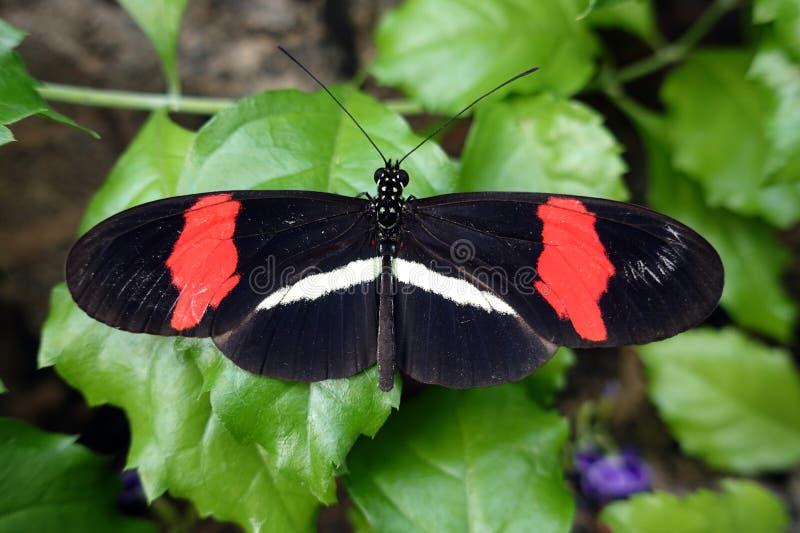Melpomene di Heliconius della farfalla del postino, fine su fotografia stock