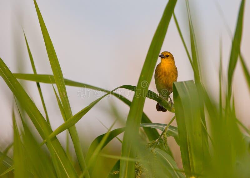 melro Amarelo-encapuçado imagens de stock royalty free