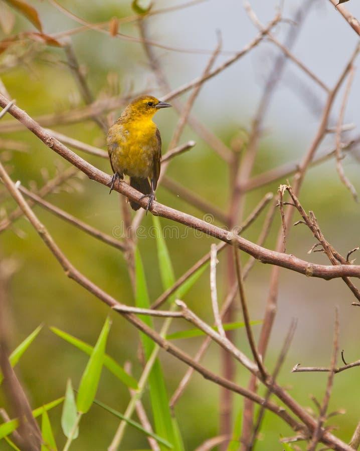 melro Amarelo-encapuçado no galho fotografia de stock royalty free