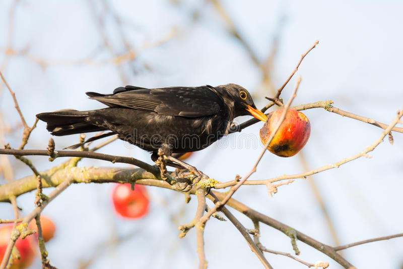 Melro de Commonb que come em uma árvore de maçã imagem de stock royalty free
