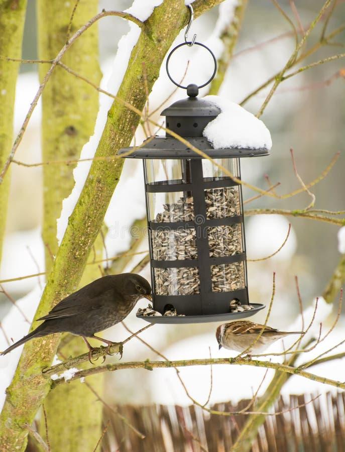 Melro e pardal no alimentador do pássaro fotografia de stock royalty free