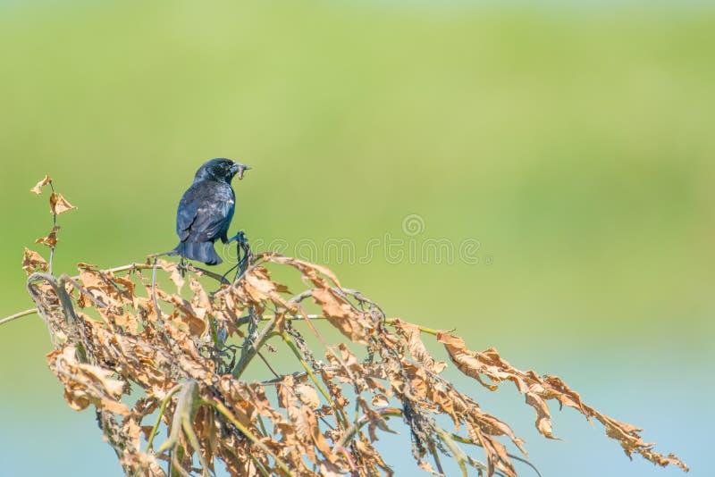 melro Vermelho-voado com uma larva em sua boca - bokeh/fundo verdes lisos - recolhida a área dos animais selvagens dos prados do  imagem de stock