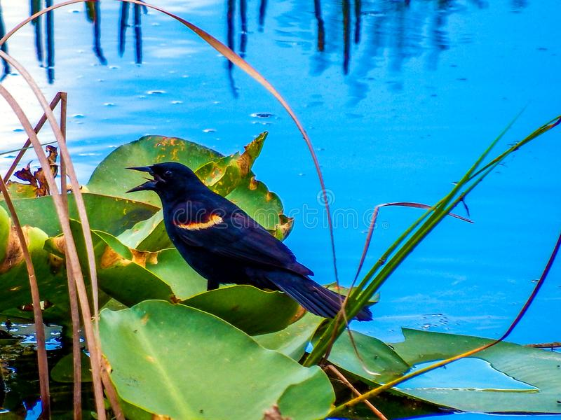 melro Vermelho-voado empoleirado em uma almofada de lírio nos marismas de Florida foto de stock royalty free