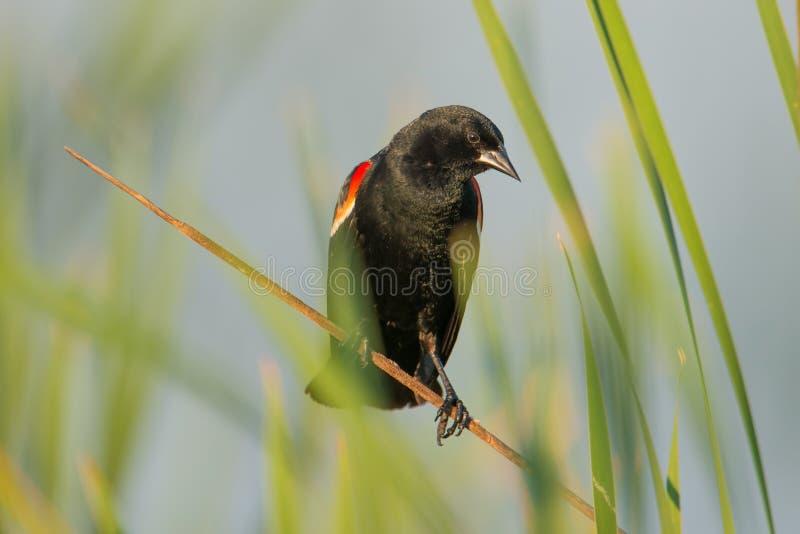 melro Vermelho-voado empoleirado nas gramas em um lago no verão na área dos animais selvagens dos prados do Crex em Wisconsin do  fotos de stock