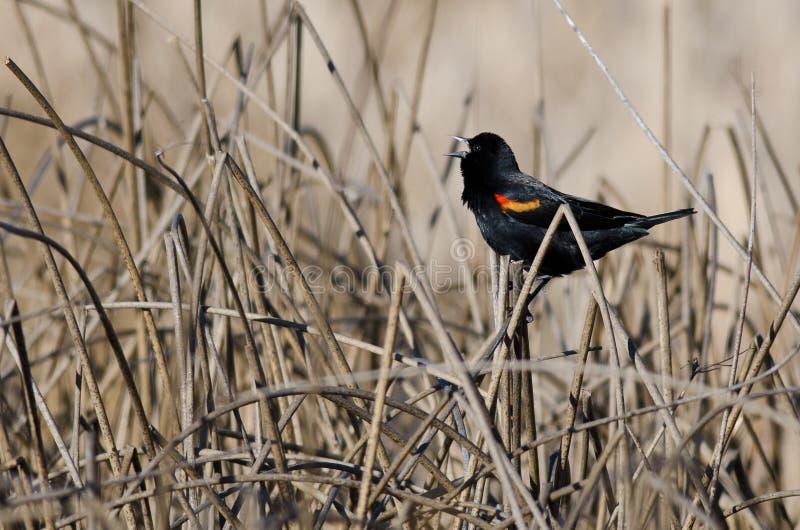 Melro Vermelho-voado que canta no pântano imagens de stock