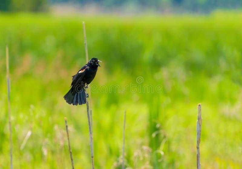 Melro voado vermelho em um junco em um pântano que chama com fundo macio do foco foto de stock