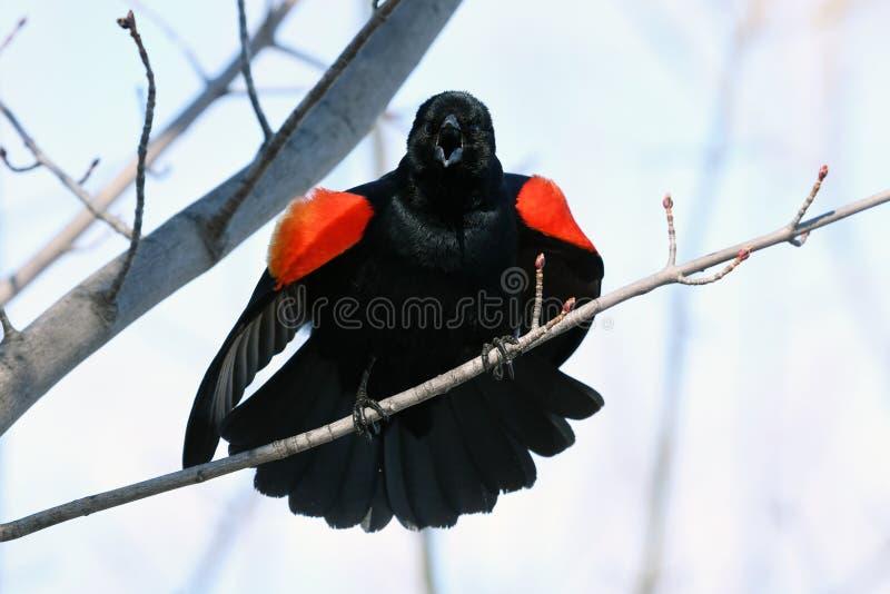 Melro voado vermelho que guarda sua terra foto de stock