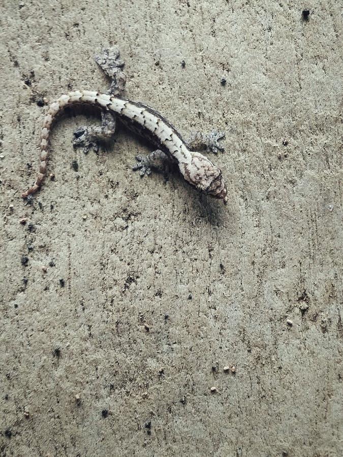 Melsisidorp, Pinkstereneiland/Vanuatu - 9 juli 2016: kleine hagedis op een concrete muur stock fotografie