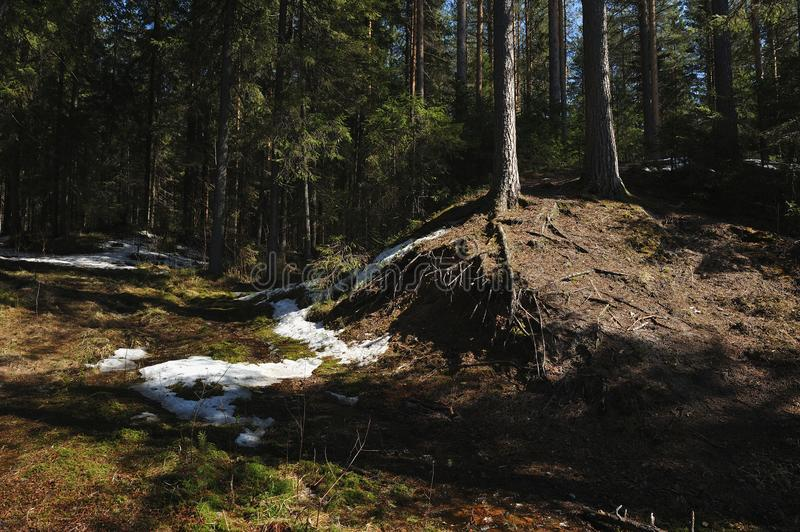 Melt water streams in coniferous forest. Melt water coming down from the hill down to the forest lake royalty free stock image