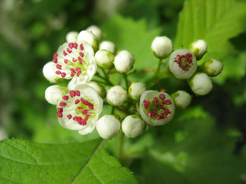 Melting flowers of hawthorn with red stamen royalty free stock photos