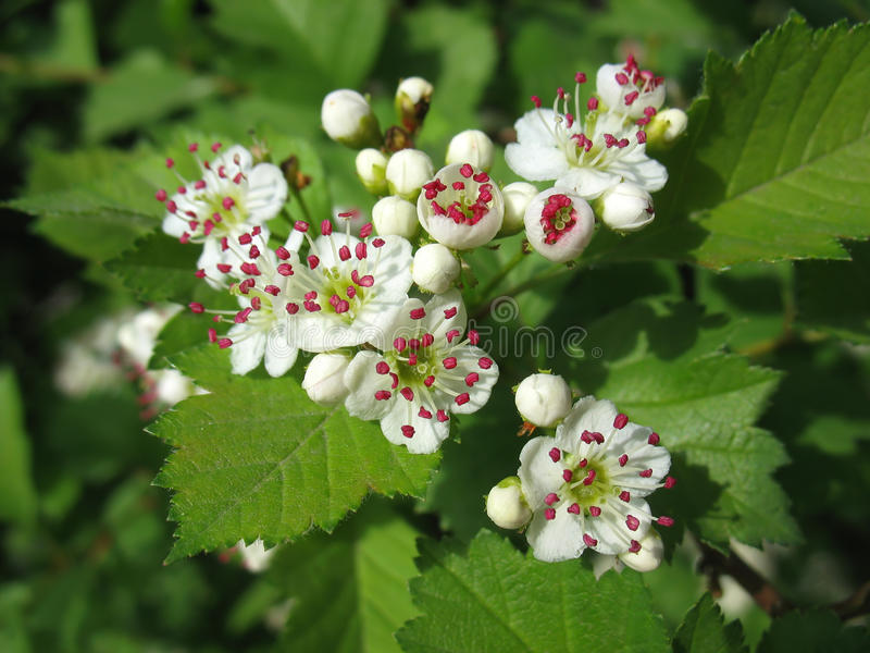 Melting flowers of hawthorn with red stamen stock photo