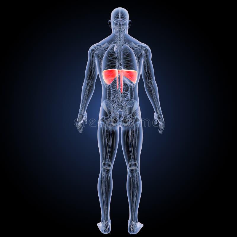 Membran mit Anatomierückansicht lizenzfreie abbildung