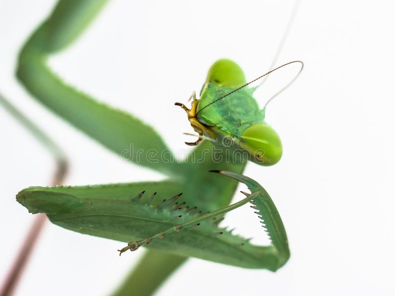 Membranacea del hierodula de la mantis religiosa en el fondo blanco foto de archivo libre de regalías