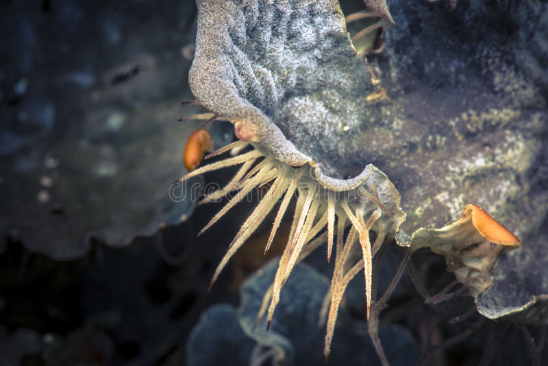 Membranaceae van hondlichen peltigera royalty-vrije stock afbeelding
