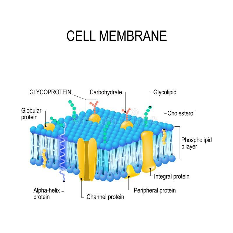 Membrane cellulaire illustration libre de droits