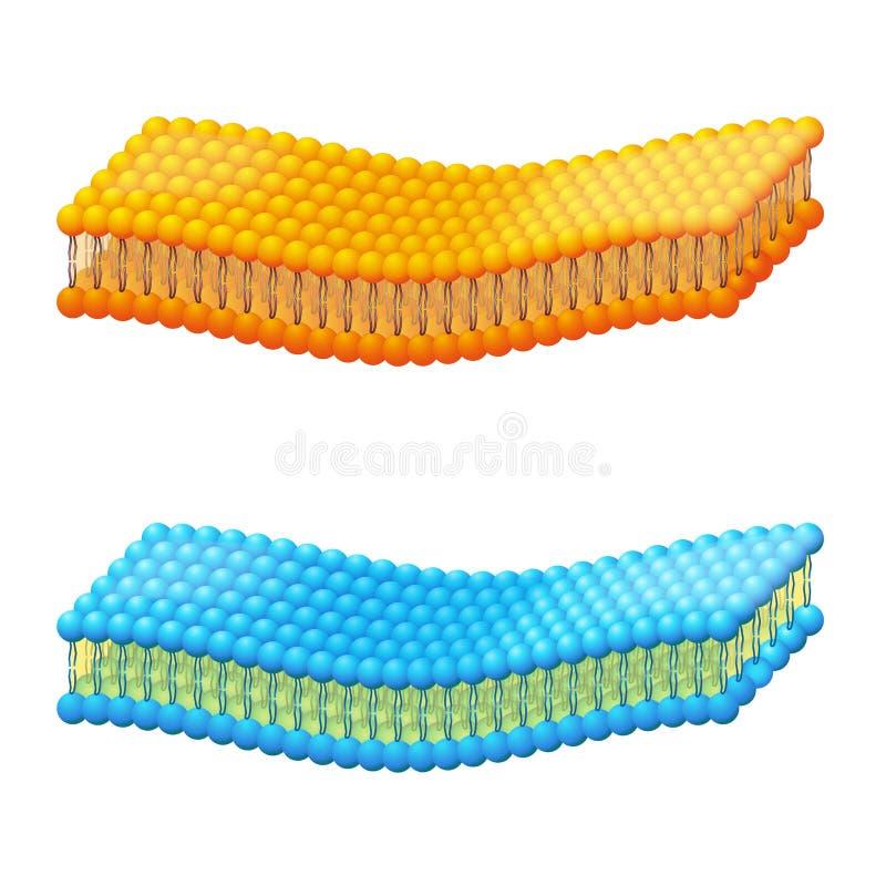 Membrane cellulaire Mod?les d'un diagramme d?taill? de structure de membrane illustration de vecteur