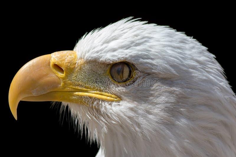 Membrane Nictitating d'aigle chauve Plan rapproché d'oeil d'oiseau avec du Th image libre de droits