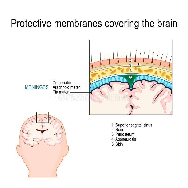 Membranes protectrices couvrant le cerveau meninges illustration de vecteur