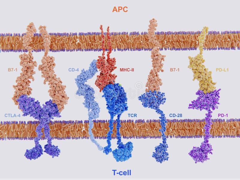 Membranproteiner som är involverade i aktiveringen och hämningen av vektor illustrationer