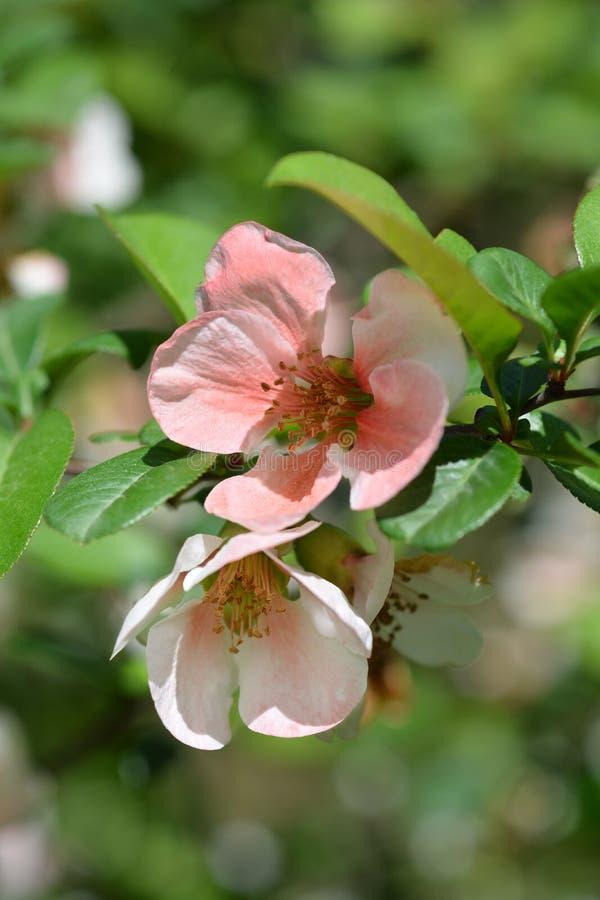 Membrillo floreciente japonés imagen de archivo