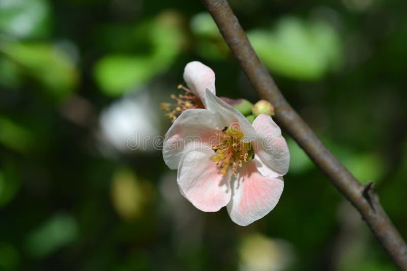 Membrillo floreciente japonés fotos de archivo