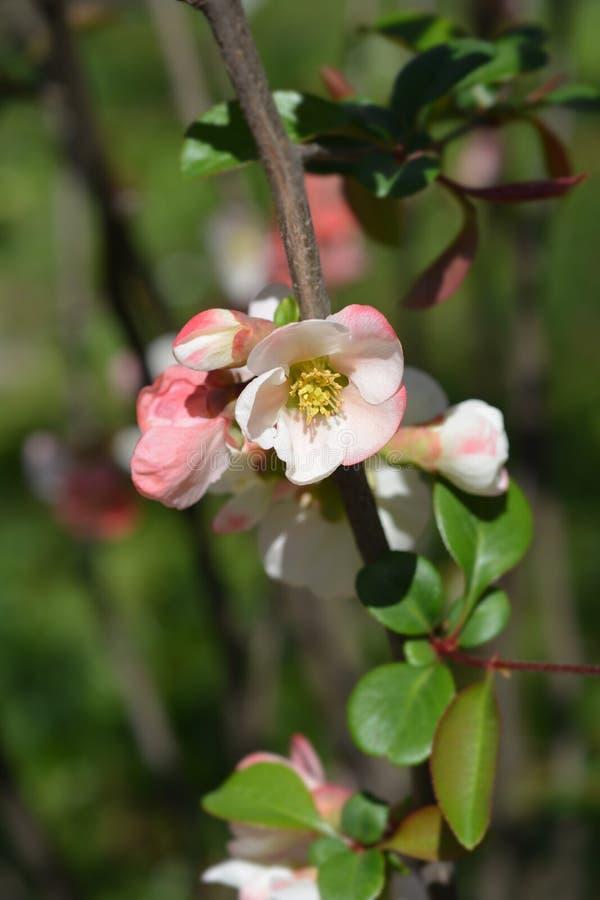 Membrillo floreciente japonés Alba imágenes de archivo libres de regalías