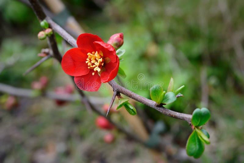 Membrillo floreciente (superba del Chaenomeles x) imagenes de archivo