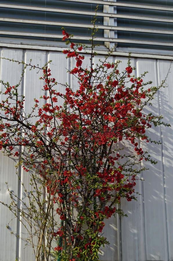 Membrillo japonés o árbol del speciosa del Chaenomeles - floreciendo en la primavera, Sofía imagenes de archivo