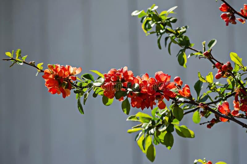 Membrillo japonés o rama del speciosa del Chaenomeles - floreciendo en primavera fotos de archivo libres de regalías