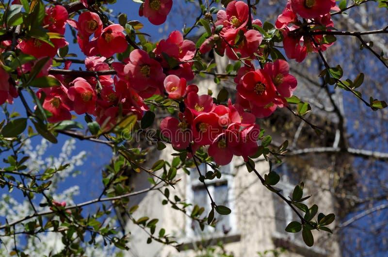 Membrillo japon?s o rama del speciosa del Chaenomeles - floreciendo en primavera imágenes de archivo libres de regalías