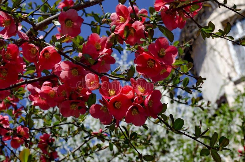 Membrillo japon?s o rama del speciosa del Chaenomeles - floreciendo en primavera fotografía de archivo