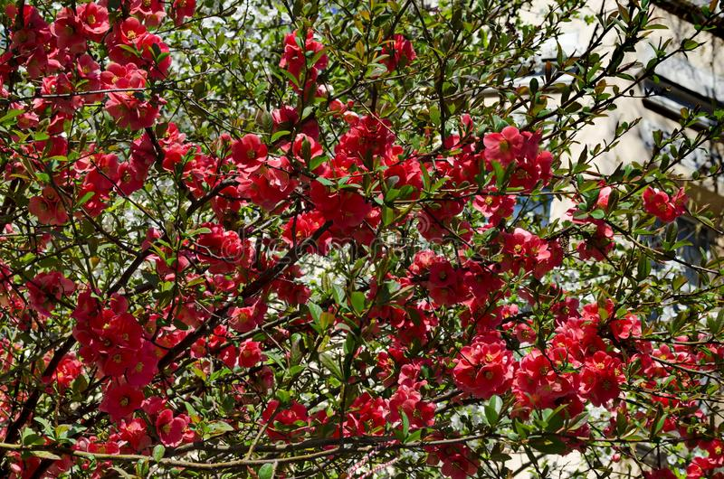 Membrillo japon?s o rama del speciosa del Chaenomeles - floreciendo en primavera imagen de archivo
