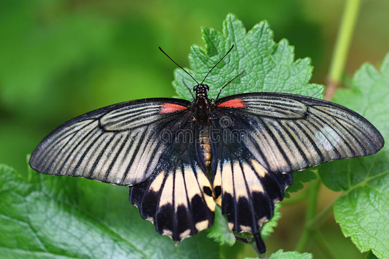 Memnon di Papilio, grande Mormone immagine stock libera da diritti