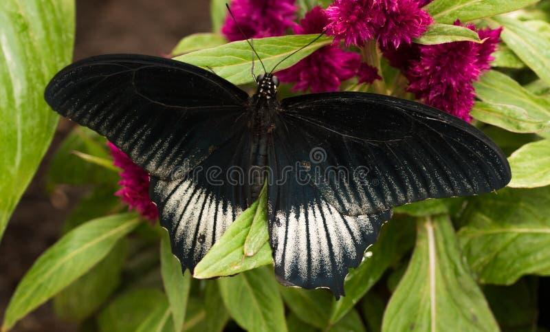 Memnon tropical de Papilio de papillon, grand mormon images stock
