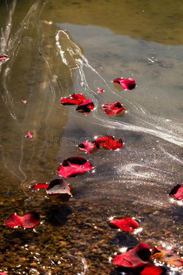 Memorial Service Petals and Ashes. Rose petals and the ashes of a loved one float on lake water after a memorial service stock photos